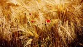 Mohn-im-Getreide-Streifinger