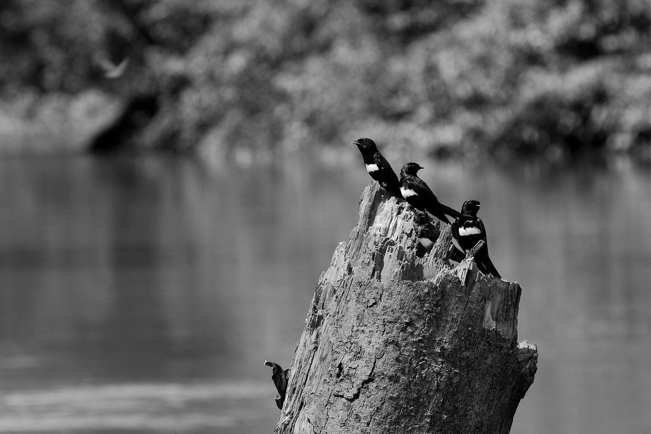 1280px-Atticora_fasciata_-Rio_Tiputini_Yasuni_National_Park_Ecuador-8-2
