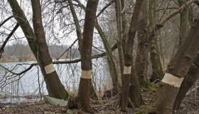 Bekämpfung des Eschenahorns am Kanal in Halle