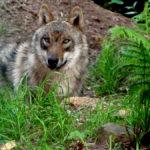 Marodierende Wölfe in Sachsen-Anhalt?