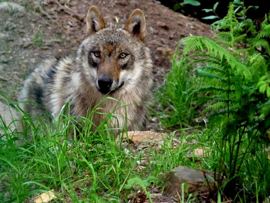 Der Wolf ist zurück - auch in Sachsen Anhalt