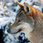 Wer hat Angst vor dem wilden Wolf?