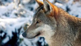 Wölfe wandern seit jahren auch in Deutschland wieder ein.