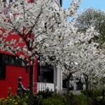 2. Kirschblütenfest der Künstlerkolonie