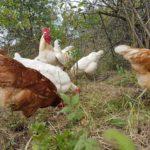 Hühnerpatenschaft beim Lochwitzer AllerEi: