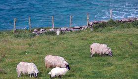 Schafzucht an der Atlantikküste von Gingle (Irland)