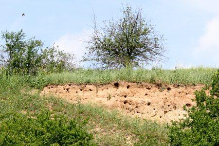 Bienefresserkolonie im einem Lößhang bei Freideburg im Unteren Saaletal