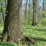 Positionen und Thesen des NABU Halle -Saalkreis zu Schutz und Pflege des Stadtwaldes zu Halle (Saale)